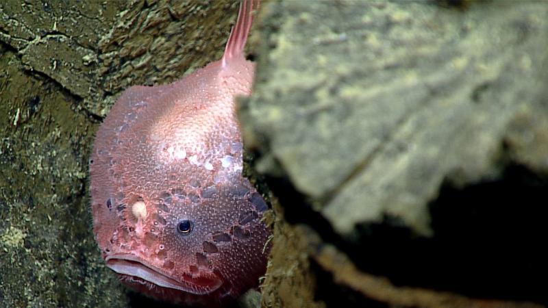 Рыба обитающая на дне Марианской впадины